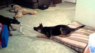 German Shepherd Vs Doberman Pinscher