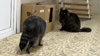 THE FIRST ACQUAINTANCE OF A MAINE COON AND A RACCOON