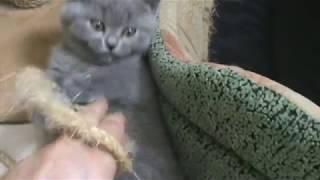 Весёлая возня британских котят.