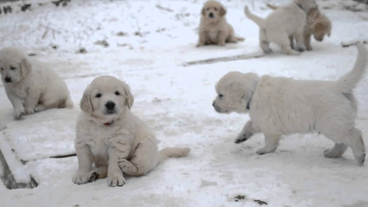 Моя собака щенок. Как выбрать щенка? Золотистый ретривер. - YouTube