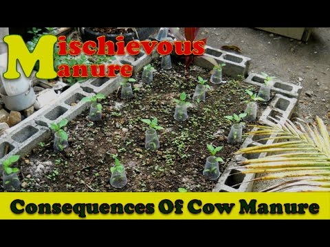 Cow Manure & Weed   Cow Manure In The Backyard Garden