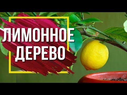10 Причин Почему Сохнет Цитрусовое Дерево �� Советы По Уходу За Лимоном Дома �� сад