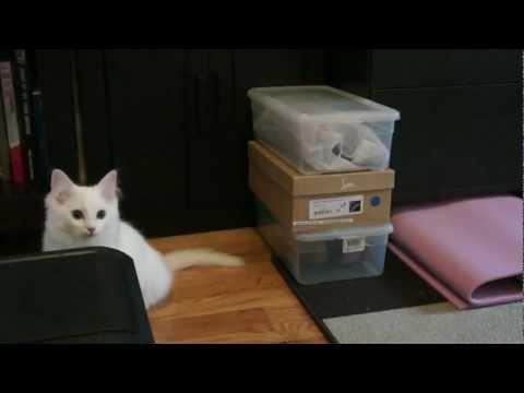 White ragdoll kitten exploring and playing