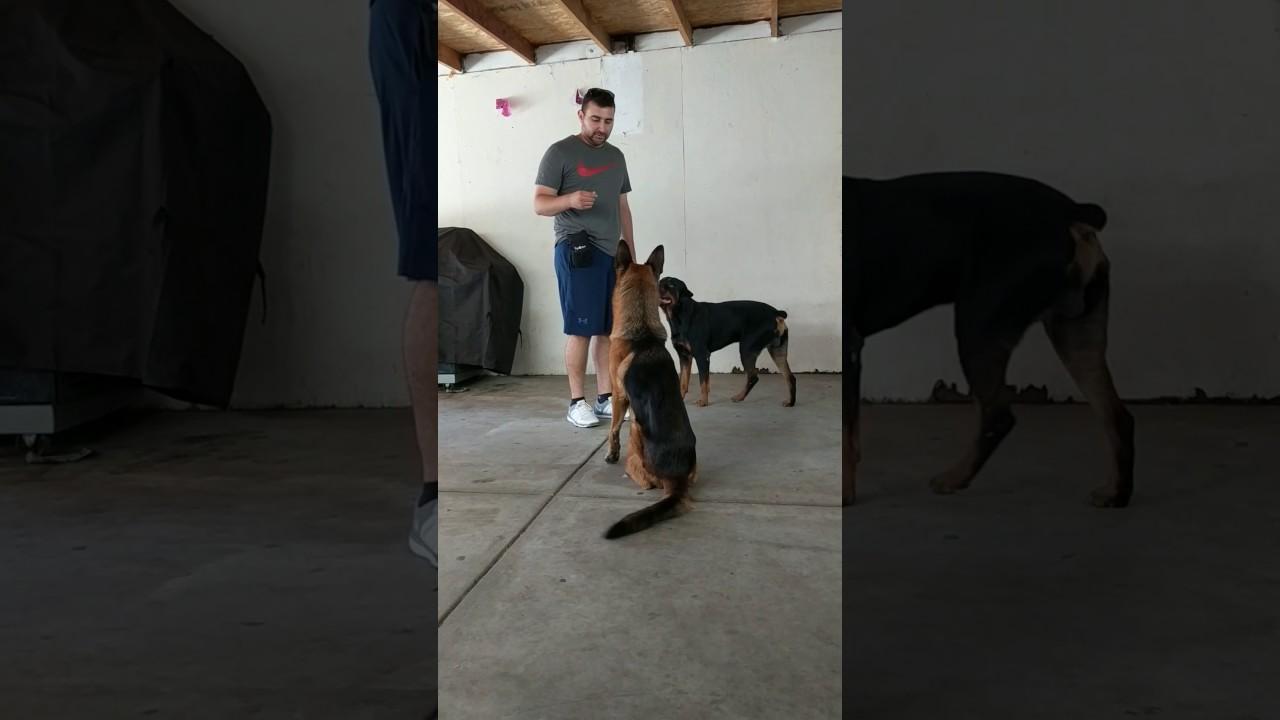 Blooper Funny Rottweiler And German Shepherd Dog Training Fail