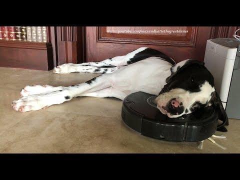 Great Dane Puppy Sleeps on Roomba Robot Vacuum