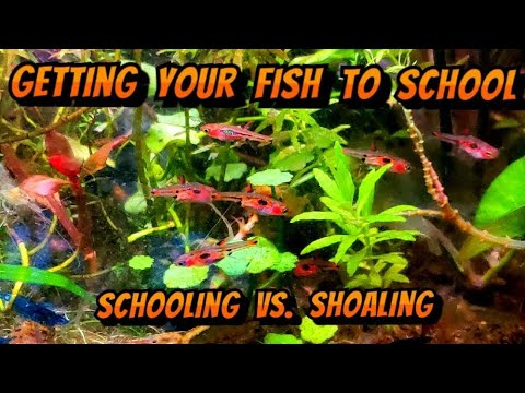 How To Get Fish To School, Even In A Nano Aquarium  - Schooling Vs. Shoaling