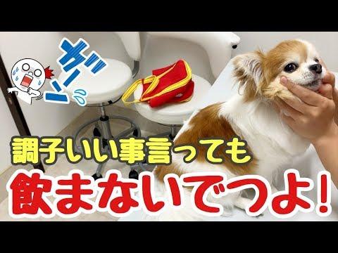 「ペットあるある」病院の薬を飲まないチワワもこれがあれば大丈夫【かわいい犬】【chihuahua】【cute dog】【ペット動画】