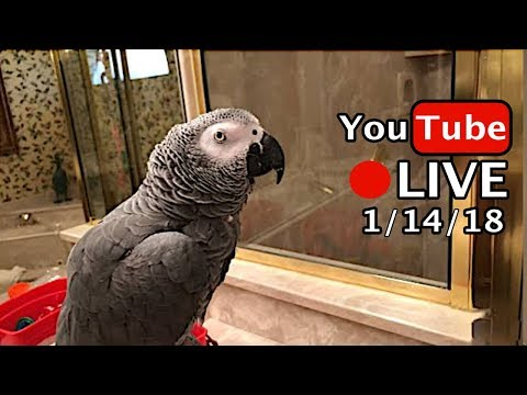 🔴🐦Einstein Parrot LIVE! 1/14/18 God Bless You!