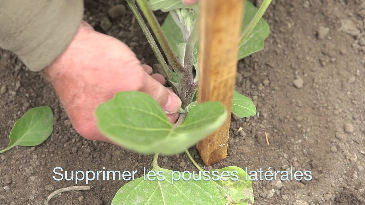 Aubergines youtube - Cultiver aubergine en pot ...
