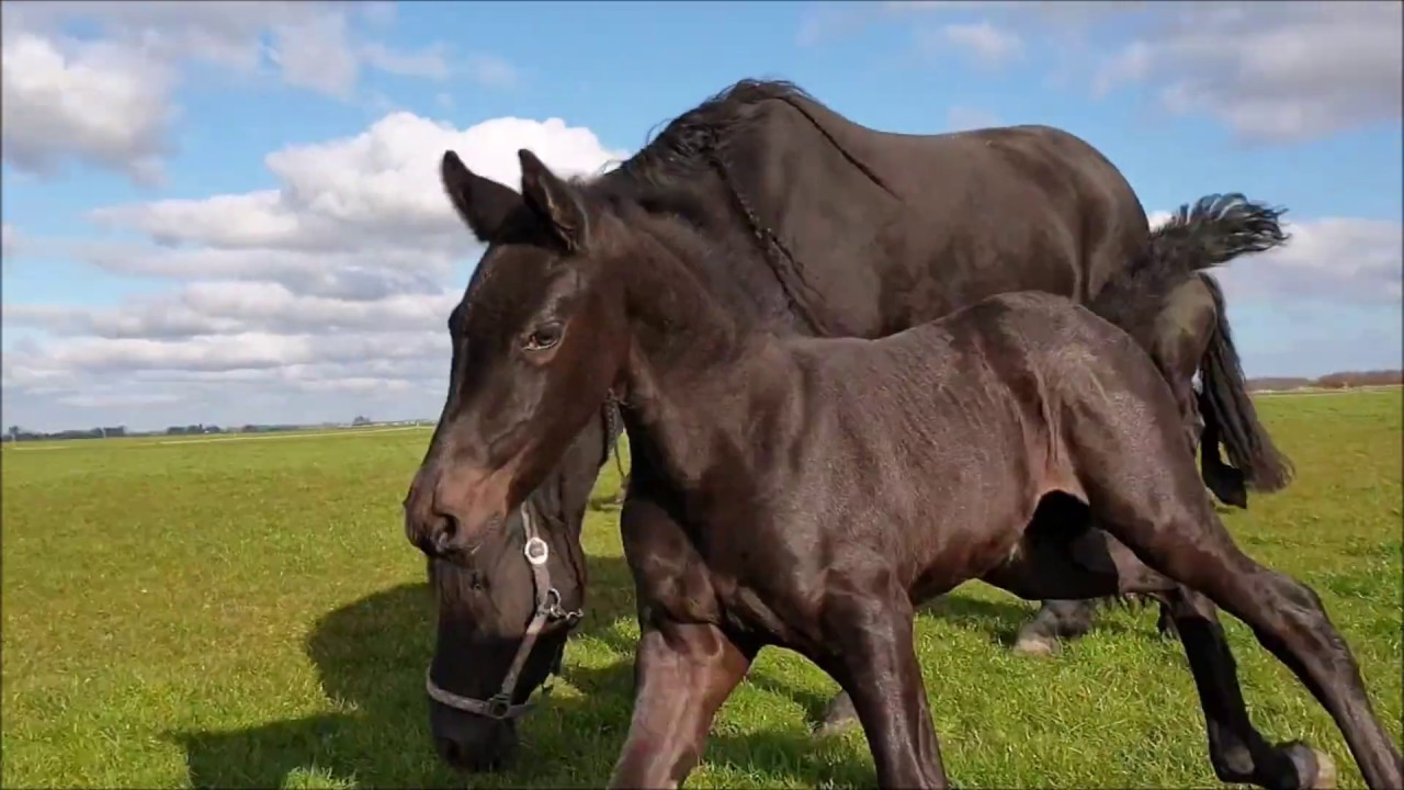 Don't kick Mathilde please!! Filly Marije for the first time in the field. Friesian horses.