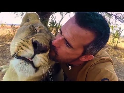 How Lions Say Hello   The Lion Whisperer