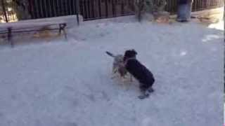 Schnauzer Vs Border Terrier