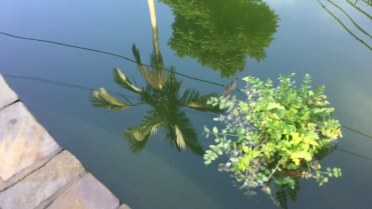 Turning a pool into a fish pond youtube for Turn pool into koi pond