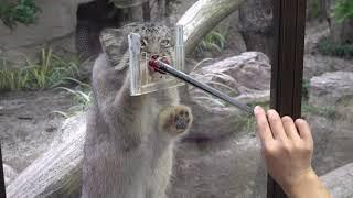 Pallas's cat マヌルネコのボルくん♪お待ちかねのオヤツタイム♪ 那須どうぶつ王国 4K動画