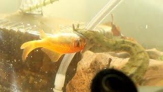 ヒゲミズヘビの捕食シーン(餌金)Erpeton tentaculatum attacks goldfish.