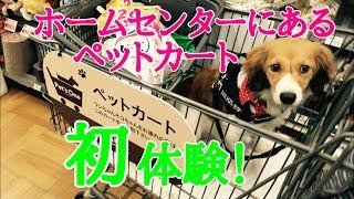 デカワンばかりだった犬の人家。 夢だったカートに乗せてショッピングを...