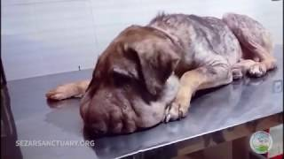 Repeat youtube video Update 2 on a rescued stray dog that was strangled with a rope on his neck - Delavar