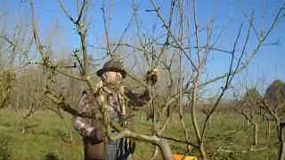 Pruning dwarf bush apple trees by the renewal method