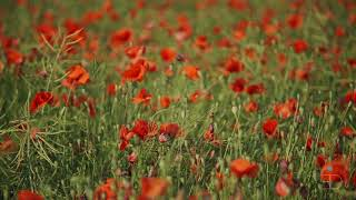 Download Blossoming Field of Poppies - Calming Relaxing Restoring Music | Meditation Music | Stress Relief |