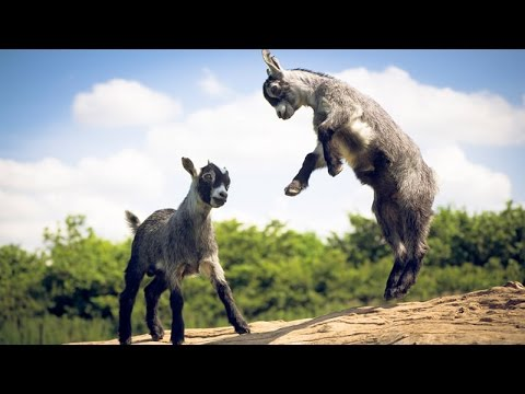 funny baby cute goat dancing youtube