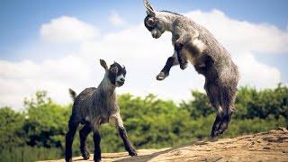 Funny Baby Cute Goat Dancing