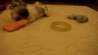 Lhasa Apso/maltese (lhasatese) Puppy Playing With A Piece Of Food.