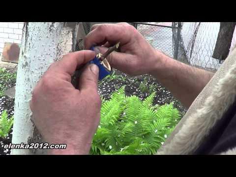 Как правильно привить яблоню весной пошагово
