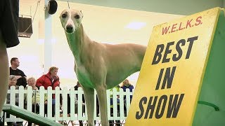 ON THIS DAY in 2016 - Hazel the Whippet (Reserve Best in Show at Crufts) wins Best in Show at WELKS