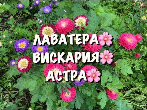 ЛАВАТЕРА�� ВИСКАРИЯ НИМФА�� АСТРА ПОМПОН��