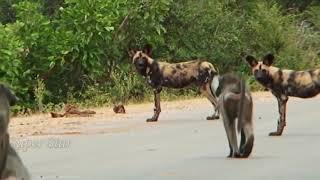 Львы против гиен и диких собак.