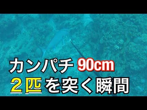 【魚突き】大迫力!巨大カンパチ2匹を突く!【解説実況付き】