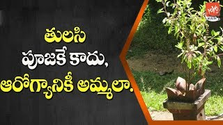 Which Tulsi Is Best For Health? | What Are The Medicinal Values Of Tulsi | YOYO TV Health