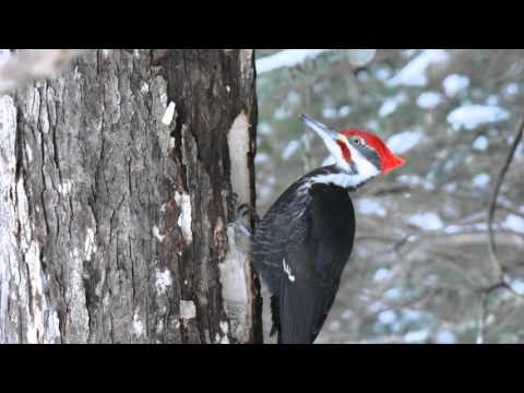 Male Pileated #1
