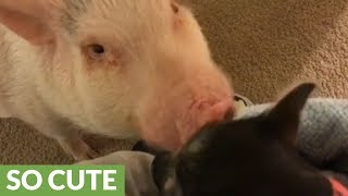 Pickle the Mini Pig meets new piglet addition