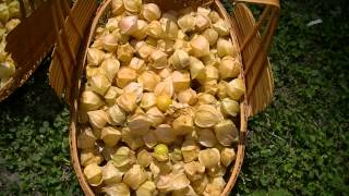 Ground Cherry Or Husk Cherry