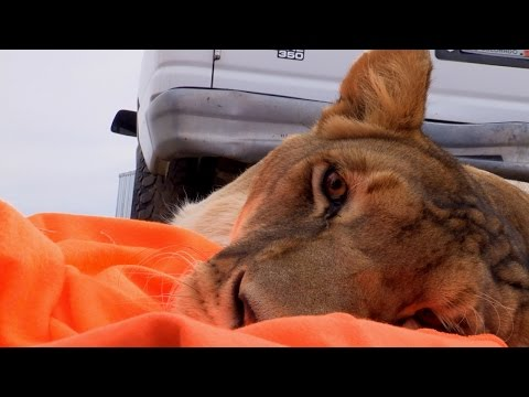 Contraceptives to Rescued Lions