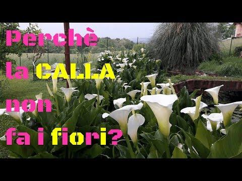 Perchè la calla non fa i fiori? La risposta è semplice