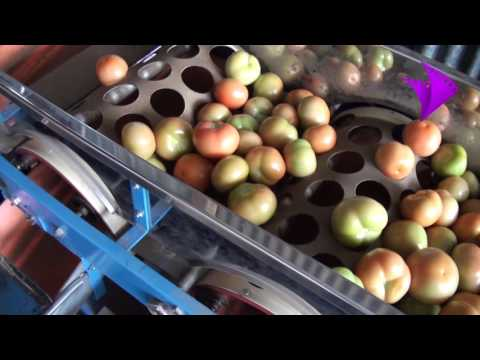 Sorting Tomatoes By Size