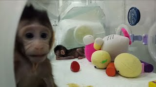 Move Over, Dolly: Scientists Clone Two Monkeys