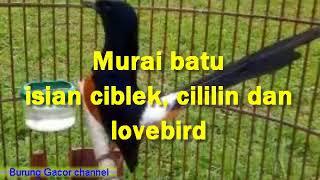 MURAI BATU ISIAN LOVEBIRD CIBLEK DAN CILILIN
