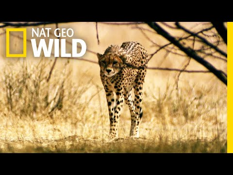 A Cheetah's Desperate Move | Lion Kingdom