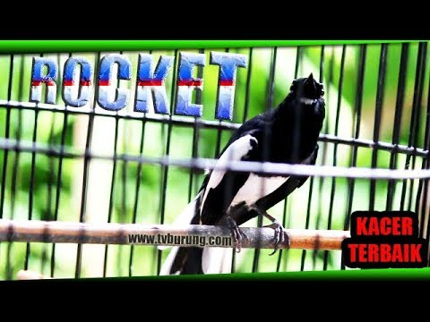 Video Kacer Terbaik Sang Juara | Kacer ROCKET Milik Arie
