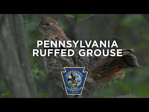 Pennsylvania Ruffed Grouse
