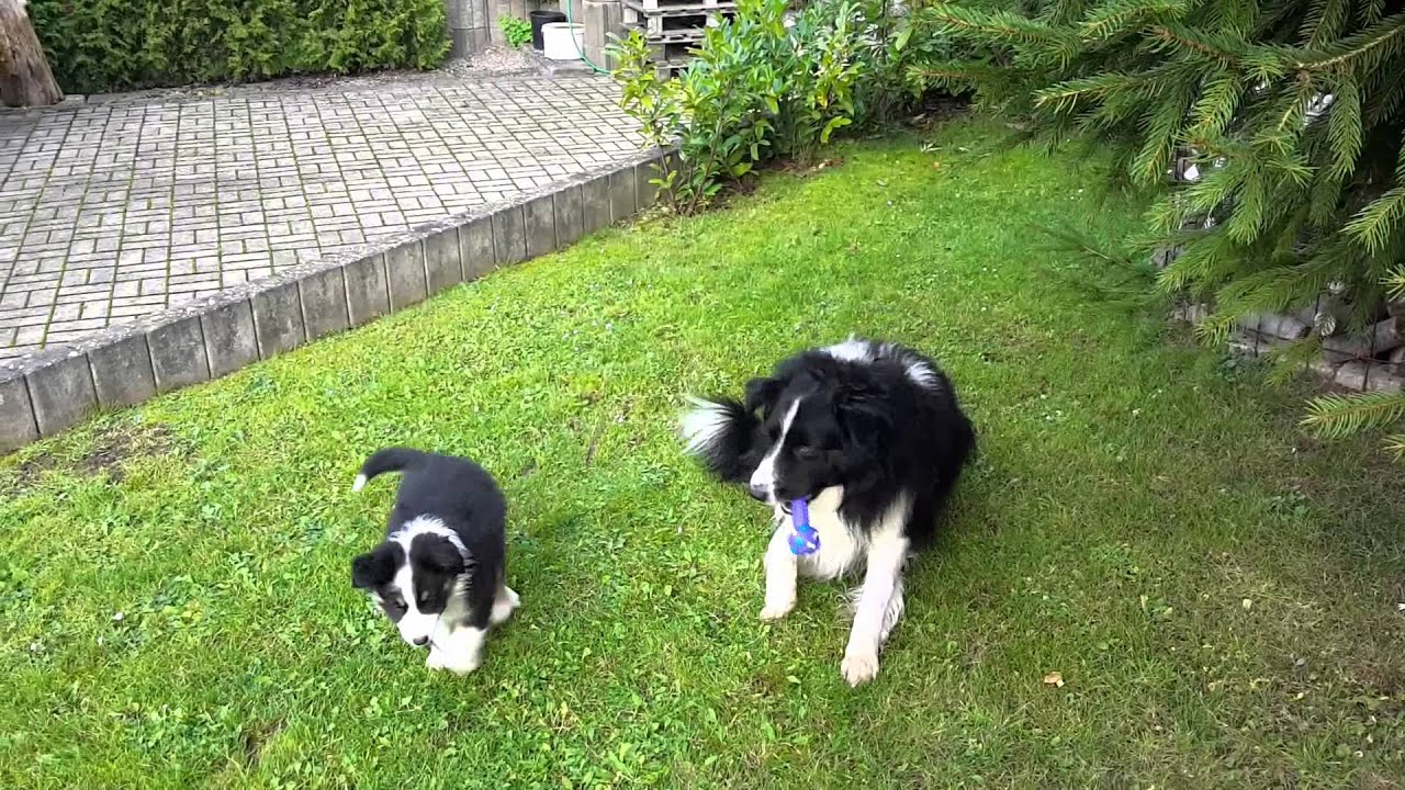 aggressiver Border Collie greift lieben Familienhund an