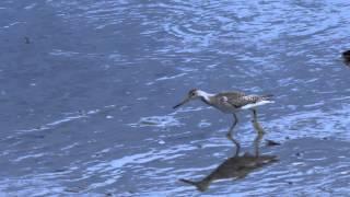 カラフトアオアシシギのダッシュ映像