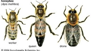 Основы пчеловодства  Урок 1  введение для начинающих