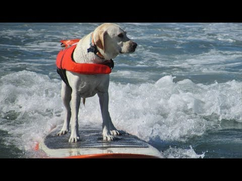 Surfing Dogs HSW69
