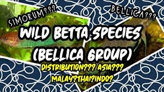Betta Bellica Group (Wild Betta Species)   WILD BETTA