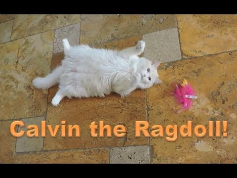 Calvin the Ragdoll Cat, Doing what he Does