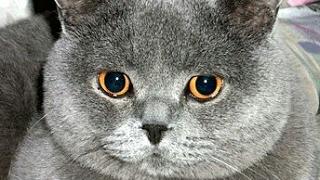 Уход за британской короткошерстной кошке
